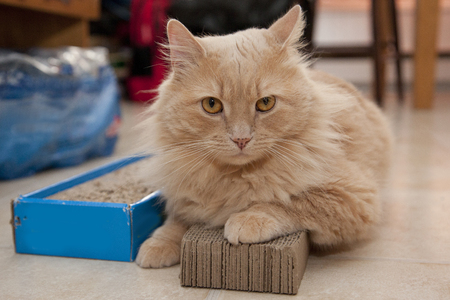 A cat sits on top of its cardboard scratching pad not willing to move Stock Photo