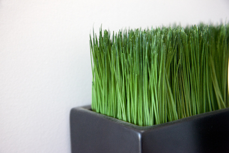 Green cat grass or fake grass plant with copy space