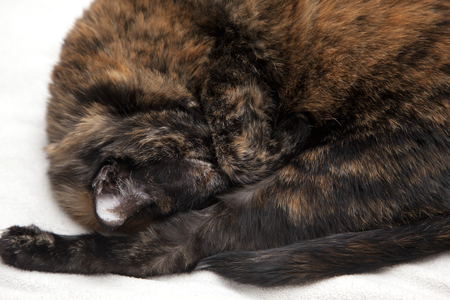Beautiful black and orange cat curled up with its paw over its eyes wanting to sleep