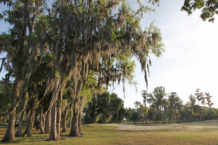 Sunburned grass on the fairway with beautiful mossy trees on a Florida golf course