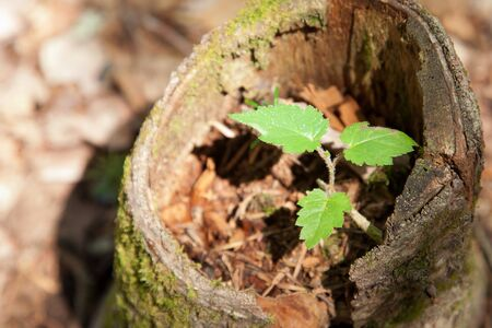 Three green leaves show a new birth or beginning for a little tree growing inside an old dead stump Stock fotó