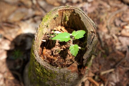 A little green leaf shows hope of a new tree growing inside an old one outside Фото со стока