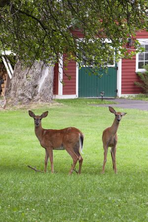 two little deer stand curiously in the backyard looking at the photographer Banco de Imagens