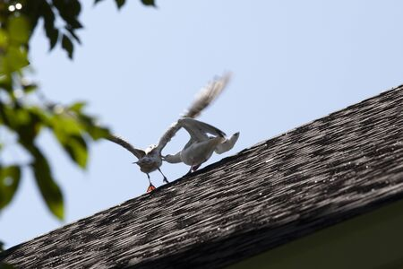 two gulls pecking and fighting over the stop spot on a roof