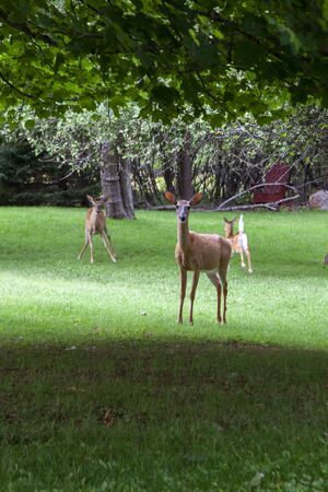 a female deer stands in front of her young, protectively, as the photographer approaches