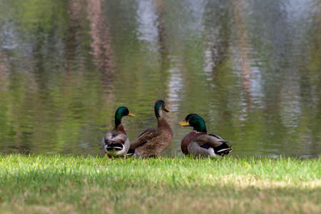 four ducks gossiping and congregating on the lawn Stock Photo