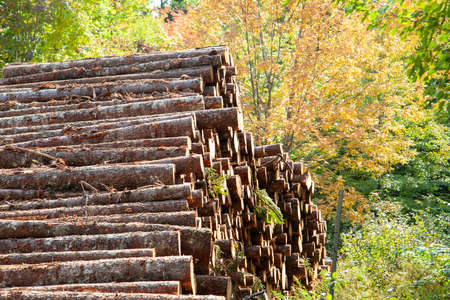Pile of logs among an autumn forest that have ben felled and cut Zdjęcie Seryjne