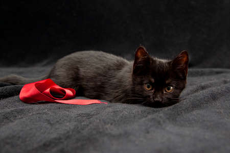A four week old black kitten on a bed with black blanket and red ribbon