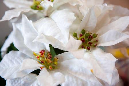 fabric leaves of a white christmas star plant Zdjęcie Seryjne