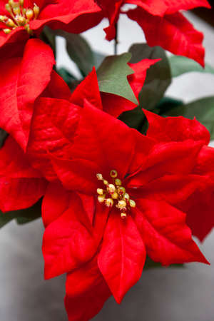 a red poinsettia plant with fake leaves and greenery Zdjęcie Seryjne