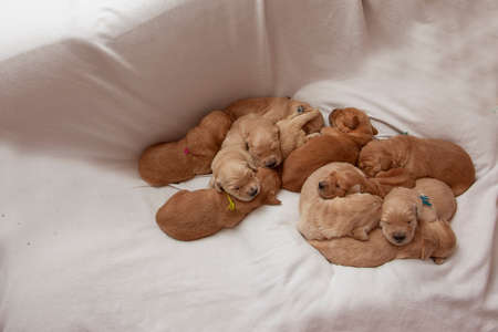 a litter of week old puppies snuggling together with copy space on a white blanket Zdjęcie Seryjne