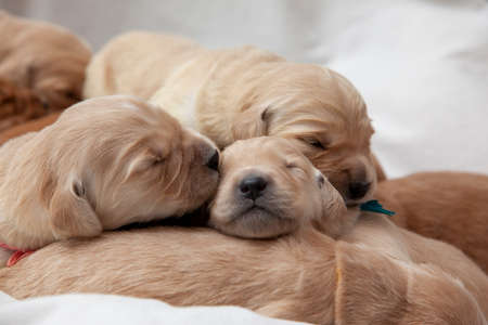 one new golden puppy gives a sleeping kiss to its sibling Zdjęcie Seryjne