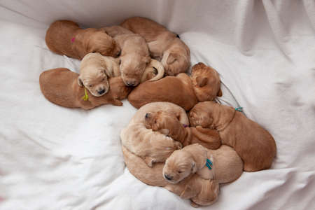 newborn puppies snuggling together for warmth a pile of tails and ears and fur Zdjęcie Seryjne