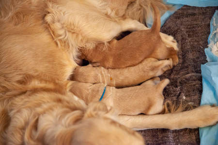 Three little golden puppies nurse on their mother, only a few days old