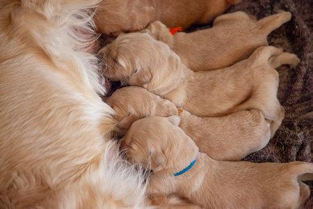 tiny week old golden retriever puppies nurse on their mom Zdjęcie Seryjne