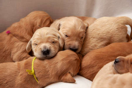 a group of young puppy siblings is all piled together having a nap Zdjęcie Seryjne