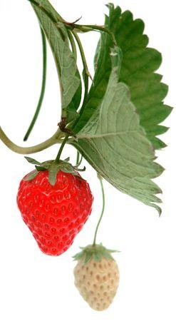 unripe: Ripe & Unripe Strawberry Stock Photo