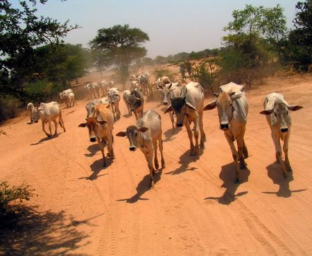 archaeological: Cattle Chase.  Bagan Archaeological Zone, Myanmar (Burma) Stock Photo