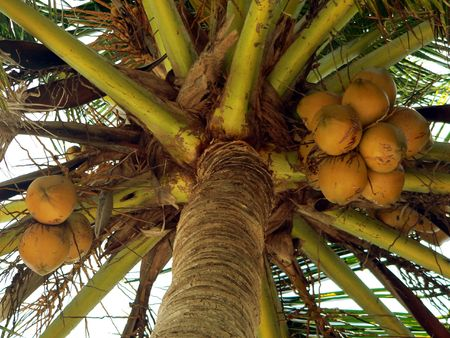 Nearly Ripe Coconuts SE Asia photo