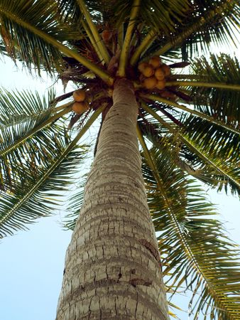 Nearly Ripe Coconuts (focus on trunk) photo