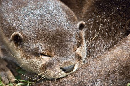 clawed: small clawed otter asleep Stock Photo