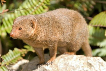 looking around: dwarf mongoose on a rock looking around