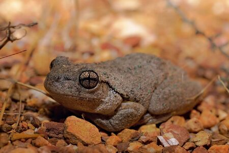 peron: litoria peroni - perons tree frog showing cross eyes