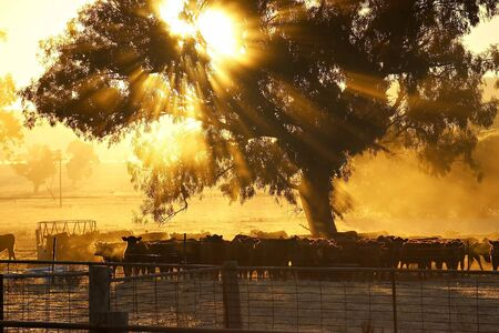 australian beef cow: sun rising and shining through trees over a herd of cattle in a corral