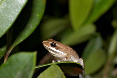 litoria dentata frog sitting on a leaf photo