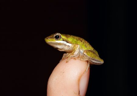 tiny frog: tiny litoria fallax, dwarf green tree frog on tip of childs finger
