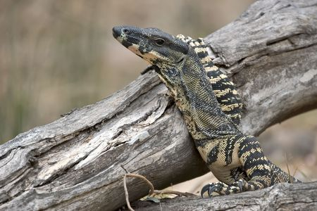 lace monitor Stock Photo - 830108