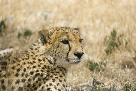 cheetah laying down looking around Stock Photo - 830115