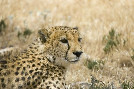 cheetah laying down looking around Stock Photo - 830115