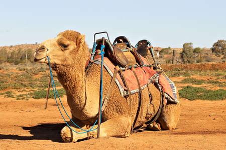 saddle camel: camel sitting with saddle