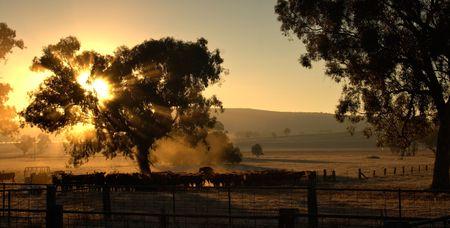enclosures: Raggi del sole attraverso gli alberi provenienti su una mandria di bovini al mattino  Archivio Fotografico