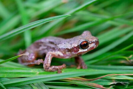 bleating: a little red eyed bleating tree frog (litoria dentata) in the grass Stock Photo