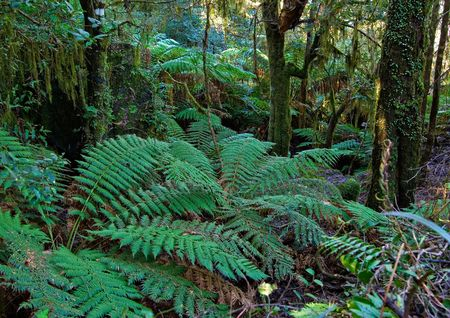 plants and tree ferns in the oxley world heritage rain forest Stock Photo - 908855