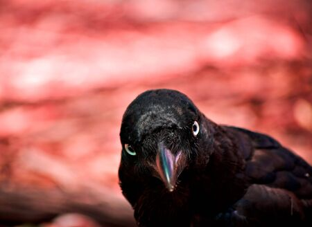 enquiring: a evil looking crow (australian raven) looks enquiringly into the camera with a hellish background in red Stock Photo
