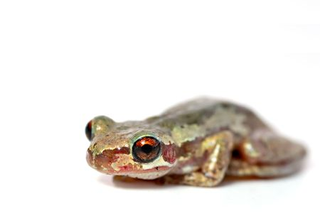 bleating: a red eyed bleating tree frog (litoria dentata) sits on a white background