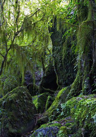 liquen: colgantes l�quenes y musgo en la Oxley r�os salvajes del Patrimonio Mundial de la selva