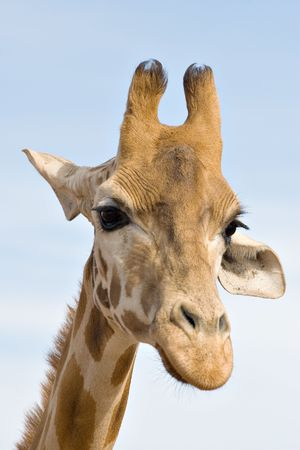 concentrating: a giraffe up close looks like its brooding or concentrating on something