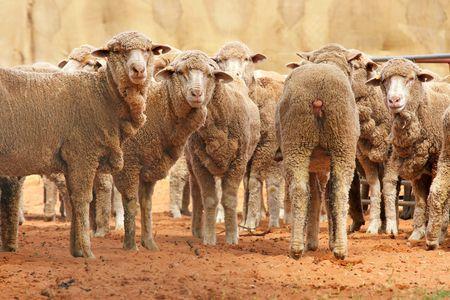 une rangée d'ovins et il ya toujours un va dans la mauvaise direction