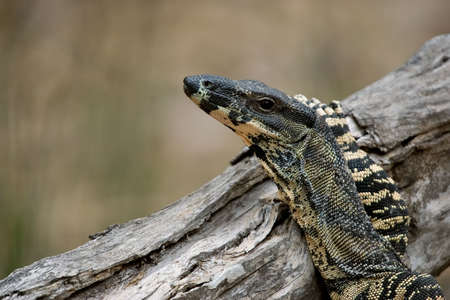 blithe: goanna (lace monitor) puts its arm up and rests nonchalantly on a log without a care in the world