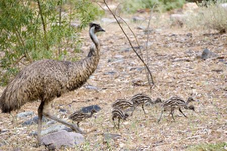 babysitting: a male emu is walking along with its chicks