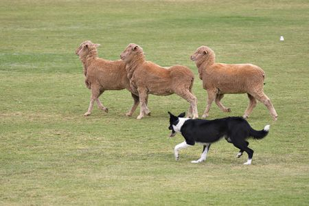 in herding: a working sheep dog (border collie)rounding up sheep at a sheepdog trial