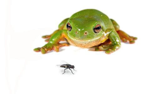 frog jump: litoria caerula - a green tree frog on white about to jump on a fly