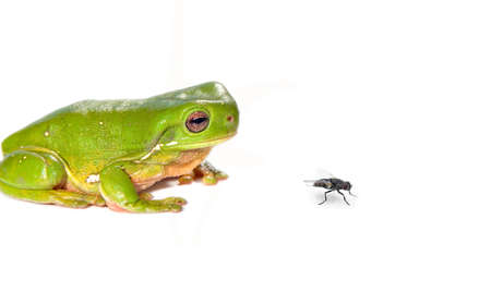 litoria caerula - a green tree frog on white looks at a fly in front of it Stock Photo - 1017413