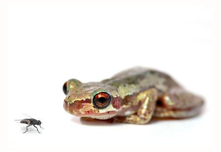 bleating: a red eyed bleating tree frog (litoria dentata) crouchs and looks at a fly on a white background