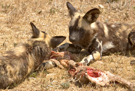 two cape hunting dogs or african wild dogs eating meat photo
