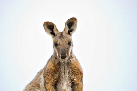 nice image of a yellow footed rock wallaby photo